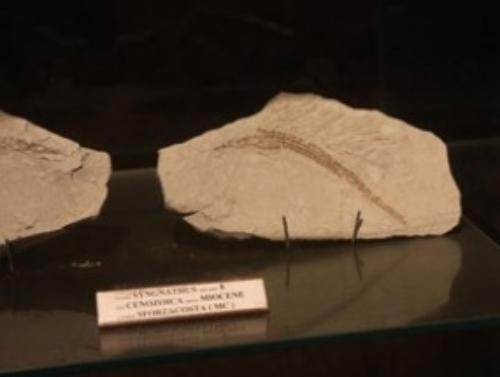 Museo dei fossili di Sant'Elpidio a Mare