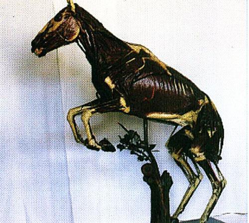 Museo della sez. di anatomia degli animali di interesse medico veterinario